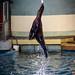 Sea Lion Jumping to Target