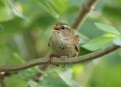 Troglodyte mignon au parc de Bercy  Paris - wreen (frimoussec) Tags: paris bird nature vol bercy troglodyte parc oiseau mignon chant plume wreen