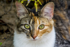 Two-Face (sostenesmonteiro) Tags: cats green nature face animals closeup cat nikon natureza gatos greeneyes gato twoface duascaras d5200 sostenesmonteiro totecmt