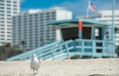 Seagull in Santa Monica Beach (Never House) Tags: santa ca usa beach losangeles los state angeles santamonica seagull sony playa monica estado 2016 a7ii a7m2 raulwong
