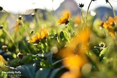DSC_0060 (Fluffphoto) Tags: flowers sunset sunlight golden lowes