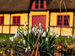 Springtime (Lumatic) Tags: flowers flower macro nature closeup denmark outdoor cottage half huset snowdrop timbered hous springsnowflake nysted alholm