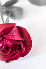 rose (agnes.kubica) Tags: flowers red roses flower nature rose postcard romantic romantico ra czerwone kartka