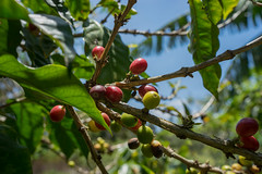 Coffee Beans (si_glogiewicz) Tags: sky plants costa coffee america beans berries central rica plantation monteverde ripe