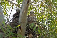IMG_0110 Red-tailed Hawk chicks (lois manowitz) Tags: arizona birds tucson chicks raptors hawks nests