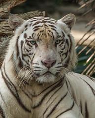 White Tiger, Singapore Zoo (tik_tok) Tags: sea animal zoo singapore asia southeastasia tiger bigcat endangered whitetiger singaporezoo bengaltiger pantheratigristigris