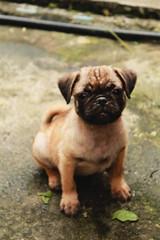 IMG_1339 (_Ndn) Tags: dog puppy pug