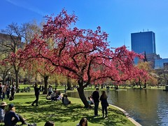 Pink tree ((Jessica)) Tags: flowers tree boston spring downtown massachusetts newengland sunny publicgarden pinktree flickrfriday flickrfridayspring
