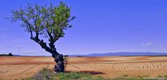 Solitaire.......... (Malain17) Tags: panorama france clouds composition landscape photography image pentax couleurs perspective champs photographers bleu ciel provence capture paysage lavande arbre minimaliste sillons
