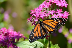 Monarch DSC_0699 (blthornburgh) Tags: orange flower butterfly tampa purple florida monarch penta milkweedbutterfly monarchdanausplexippus thornburgh