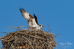 Osprey returns from Home Depot sequence - 15 of 27
