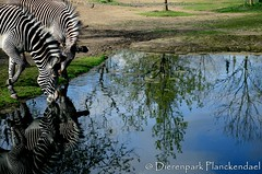 Grvyzebra - Equus grevyi - Grvy's zebra (MrTDiddy) Tags: horse water mammal zebra epic planckendael equus paard dierenpark grevyi zoogdier grvyzebra dierenparkplanckendael grvy grvys