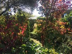 front garden (ropergees) Tags: autumn christchurch colour home garden maple alba 14 acer nz dogwood shrub paperbark cornus sibirica griseum