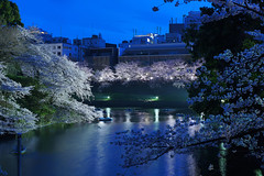 Sakura@Kudanshita_02 (Ripple design) Tags: 50mm sony voigtlaender sakura f11 nokton bluemoment 7r