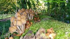 Fungi (1wilkie) Tags: nature mushroom mushrooms wildlife fungi toadstool eastdidsbury fletchermosspark