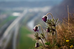 Flowers at a high rock (CHCaptures) Tags: flowers flower nature dof bokeh sony alpina lila fels blume graz campanula a7 violett felsen glockenblume gstling alpenglockenblume ilce7 sel2470z