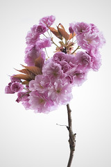 Plum Blossoms, Surrey, BC (ScarletBlack) Tags: pink whitebackground pinkflower plumblossoms pinkblossoms