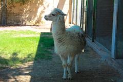 Lama (Ismail Photos) Tags: kuwait ahmadi