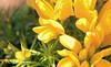 Yellow Garden (nitehawk) Tags: flowers macro yellow macroflowers favoritegarden
