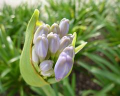 Cornucopia of pale purple buds (Monceau) Tags: macro purple pale bunch buds cornucopia