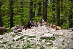 Wolfsrudel (wo.men) Tags: wolf bad wildpark mergentheim liegend wlfe wolfsrudel