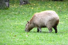 Essehof_8255 (Antifrog) Tags: zoo tierpark braunschweig capybara essehof wasserschwein
