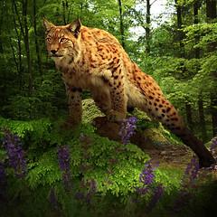 lynx (jaci XIII) Tags: plant planta animal forest feline vegetable felino floresta lynx vegetal lince