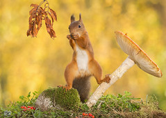 good stand (Geert Weggen) Tags: autumn light red summer  plant cute fall nature mushroom animal closeup mammal happy rodent moss spring berry squirrel funny bright ground toadstool geert perennial weggen ilobsterit hardeko