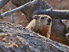 Woodchuck Poking Out Of Brush & Wood Pile (Bill Bunn) Tags: maine woodchuck falmouth