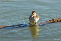 take a rest (HP009610) (Hetwie) Tags: water duck nederland chicks kuikens vijver noordbrabant helmond eendjes wijkpark brouwhuis