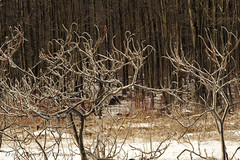 Icy Sumacs (D & E Grey Wolf Photography) Tags: winter ontario ice sumac