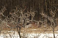 Icy Sumacs (D & E Grey Wolf Photography) Tags: winter ontario ice sumac