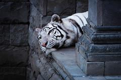 Tigre blanc  Pairi Daiza (dider63) Tags: zoo belgique animaux tigreblanc tigredubengale felids pairidaiza