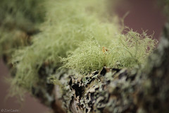 Lichens (oetrope) Tags: scotland branch twig lichen usnea dundreggan
