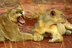 Kenya: lions at Ngutuni Reserve, near Tsavo East N.P. (mariofalcetti) Tags: park parco nature animals kenya leoni lion natura animali