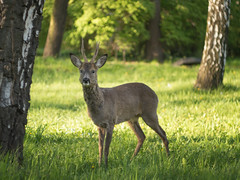Unexpected encounter (A_Peach) Tags: park animal outdoors wildlife deer reh helios442 panasoniclumixg5