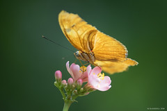 Butterfly 2016-12 (michaelramsdell1967) Tags: pink flowers light orange sunlight flower detail macro green love nature beautiful beauty sunshine butterfly garden insect photography eyes nikon focus natural bokeh cincinnati butterflies insects photograph zen nky