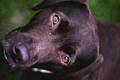 hundeblick (lichtfinger) Tags: deutschland pentax hund augen blick