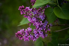 Violet (lunadiezdelalastra) Tags: madrid park flowers naturaleza flower green nature beautiful beauty leaves spain purple violet morado
