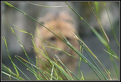 Cazador (Caro Rolando) Tags: felinos animales chita temaiken