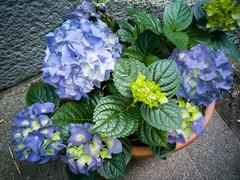 Hydrangea blue-purple (Bjrn Ritzmann) Tags: leica blue plant flower green lens raw lila pro hydrangea dual blau mode p9 hortensie summarit huawei