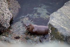 otters-3 (rlittle16) Tags: ca canada britishcolumbia oakbay