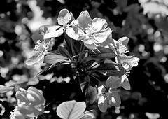 jnowak64 (jnowak64) Tags: bw poland polska krakow natura makro cracow kwiaty mik wiosna malopolska przyroda bronowice drzewo krakoff