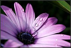 DSC_0418mod (cicci8690) Tags: macro nikon natura fiori rugiada margherita d3000