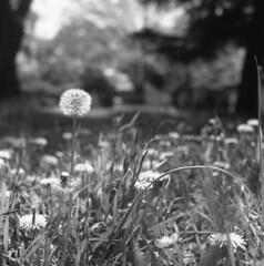 Dandelion (odeleapple) Tags: bw mamiya film weeds dandelion 65mm c330 mamiyasekor neopan100acros