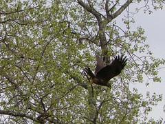 101_1207 (Cassiope2010) Tags: nature oiseau buse ature cvennes