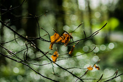 Hanging on in there ! (Costigano) Tags: winter tree forest canon eos leaf dof bokeh