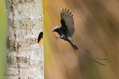 Long-tailed tyrant (Colonia colonus). Mosquero colilargo. (Sergio Bitran M) Tags: bird costarica ave 2016 passeriformes longtailedtyrant coloniacolonus mosquero tyranidae mosquerocolilargo