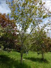 Acer tataricum ssp aidzuense (Franch.) de Jong 1996 (SAPINDACEAE) (helicongus) Tags: spain acer sapindaceae jardnbotnicodeiturraran acertataricumsspaidzuense