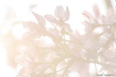 DSC_8535 (Frankie Tseng ()) Tags: park pink flowers sunset sky bw flower silhouette photography 50mm blackwhite nikon outdoor flash sunny tokina cherryblossoms fade nikkor 70300mm tamron 90mm f8 1224mm f28 f4 1870mm bwphotography blackwhitephotography portraitphotography outdoorportrait sb900 yongnuo outdoorportraitphotography yn568